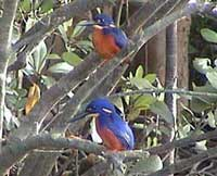Birdwatching in Australia;  azure kingfishers on Daintree River