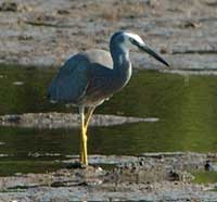 Birdwatching in Australia;  herons