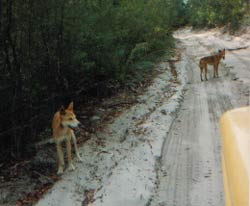 dingoes on fraser island
