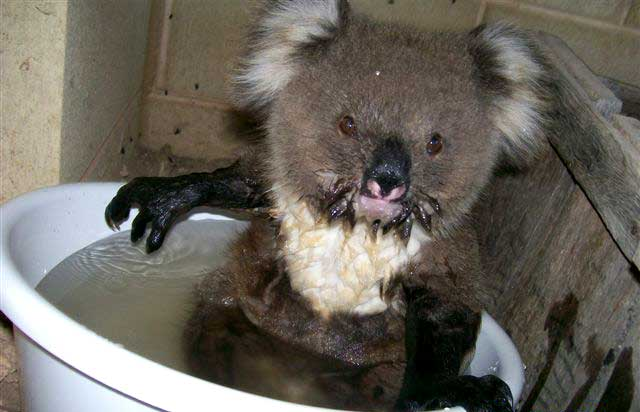 photo of koala enjoying a bath