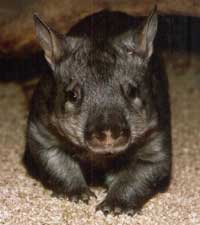 the wombat lives in victoria, south australia, western australia and new south wales
