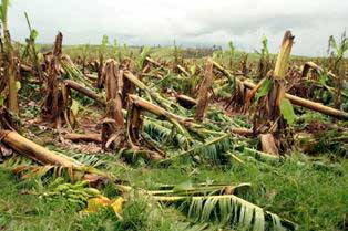banana crops knocked down by cyclone larry